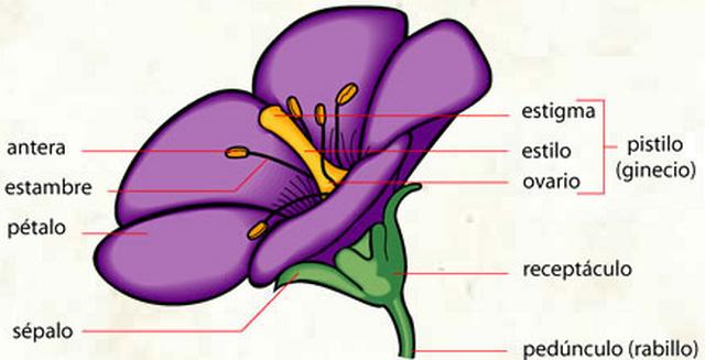 El esquema de la flor y sus partes - Imagui