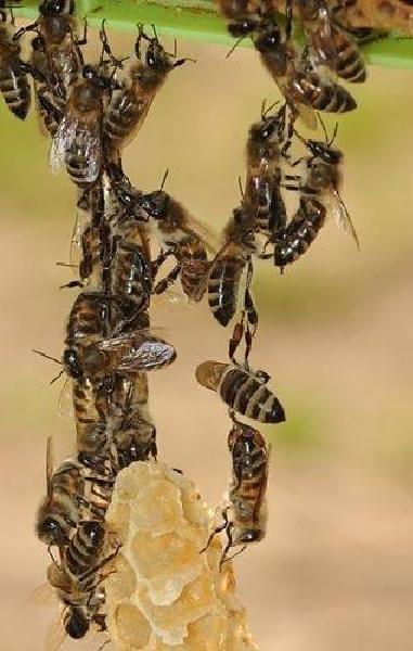 cadena de abejas fabricando panales