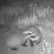 Biodiversidad Hoyo de Manzanares: Tejones