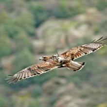 Colaborando en la conservación del águila de Bonelli