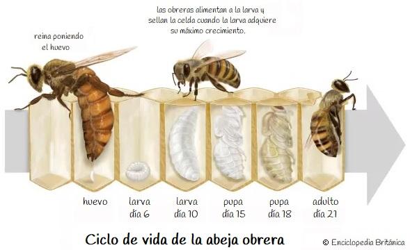 Ciclo de vida de las abejas obreras