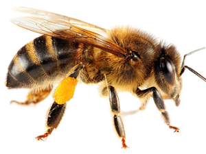 sentidos de las abejas